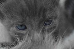 SAMIR! (Sofia Camisassa) Tags: cat cats felino gato gatito pet babycat animales animal mascota nikon d5100