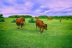 """Green grass / Ni ng phim """" Ti thy hoa vng trn c xanh"""" - Tuy Ha - Ph Yn (break_away) (V_Quang) Tags: green greengrass grass cow trees cactus c xanh tuyha phyn afternoon chiu bvng"""