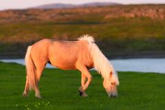 Pastando a la luz de la media noche. (David Andrade 77) Tags: sunset horse animal caballo iceland islandia puestadesol medianoche
