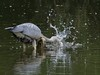 Grey Heron (ukstormchaser (A.k.a The Bug Whisperer)) Tags: fish motion heron water birds animal animals grey wildlife hunting july brook milton keynes splash herons