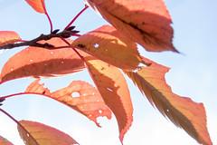 DSC_1330.jpg (d3_plus) Tags: park street autumn autumnfoliage sky fall nature japan scenery shine outdoor  streetphoto   matsumoto  nagano   j4       nikon1    1nikkorvr10100mmf456 1 nikon1j4  parkshiroyama