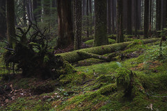 Grove (zh3nya) Tags: wood trees green forest dark washington moss rainforest roots logs trunk pacificnorthwest wa lush olympicnationalpark pnw snag solduc oldgrowth onp nurselog temperate 1855mmf3556 olympicpeninsulad3100