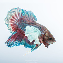 betta (Mixrinho Suphamongkol) Tags: pet moon fish motion hot scale nature water beautiful beauty fashion animal swimming fire aquarium colorful underwater power looking dress dynamic image action background space tail vivid siamese battle flame exotic domestic fancy half tropical aquatic elegant fighting aggressive fin betta staring biology luxury isolated freshwater zoology elegance splendens