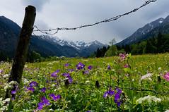 Frhling (Jos Mecklenfeld) Tags: flowers mountains alps germany landscape bayern deutschland bavaria spring outdoor hiking wandelen sony blumen hike bergen alpen lente landschaft wandern bloemen duitsland landschap frhling oberstdorf allgu alpineflowers nex 3n alpenblumen beieren allgueralpen stillachtal sonynex nex3n sonynex3n