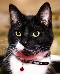 Black Cat (Olivier Blitzblum) Tags: white black cute cat 35mm canon carpet prime eyes nikon sony adorable kitty samsung super sharp panasonic kit mm dslr a7 caty cuty 1650 a5000 apsc 7m2 a6000 a5100 a7m2 a77m2