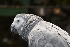 African Gray Parrot (stevelamb007) Tags: africa bird closeup southafrica eyecontact parrot d90 africangrayparrot stevelamb