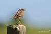 Grasshopper Sparrow_Gorrión Chicharra_Ammodramus savannarum (Gloria Archilla) Tags: birds puertorico aves barceloneta grasshoppersparrow ammodramussavannarum berdun canon7d gloriaarchilla gorrionchicharra