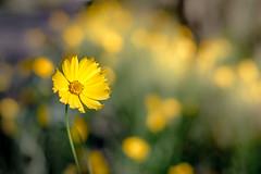 Mellow Yellow (scotty-70) Tags: yellow 50mm minolta sony a7 minoltamd50mmf14