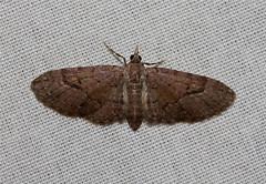 Eupithecia unicolor - Hodges # 7472 (Nick Dean1) Tags: insect washington moth insects lepidoptera washingtonstate arthropods animalia arthropoda everett arthropod insecta washingtonusa eupithecia eupitheciaunicolor southeverett