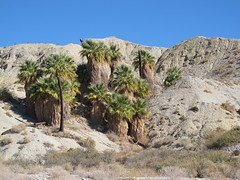 Pushawalla Palms/Horseshoe Palms Loop (saguarostrength) Tags: california palmsprings coachellavalleypreserve washingtoniafilifera desertfanpalm pushawallapalms