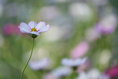 Have a nice day. (yvone042488) Tags: light vacation white shine bokeh cosmos florews