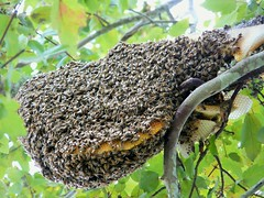 Beehive (alansurfin) Tags: abejas bees honeycomb beehive api swarm abeilles apicultura apis bienen honeybees apismellifera