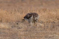 The Rough Legged Hawk takes a bite of its prey
