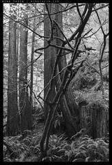 _8B06123 copy (mingthein) Tags: california trees blackandwhite bw macro monochrome creek forest landscape nikon bokeh d micro redwood ming pce onn 4528 d810 purisimia thein photohorologer mingtheincom pce4528d mingtheingallery
