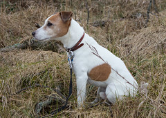 My Field Buddy, Dec 2014 (marylea) Tags: dog field michigan seamus explore terrier jackrussell jackrussellterrier dec14 2014 parsonrussell parsonrussellterrier explored
