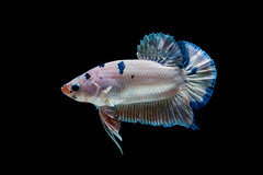 betta fish (da nokkaew) Tags: pet fish black color eye nature water beauty swimming aquarium colorful background exotic tropical pace aquatic fighting betta isolate