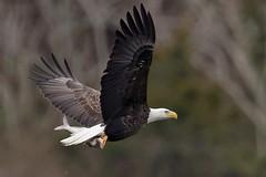 Conowingo Bald Eagle with catch (Adam Berry Photography) Tags: nikon eagle baldeagle maryland raptor birdofprey susquehanna conowingo 600mm conowingodam abphoto nikond4 nikon600mm adamberryphotography