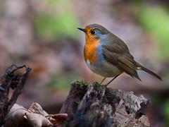 blue orange bird robin closeup bokeh details small