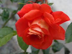 Scarlet Rose for 2015 (swetlanahasenjäger) Tags: excellentsflowers thebestofmimamorsgroups coth5 rosesforeveryone
