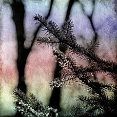 still wet ●●● (1crzqbn) Tags: macro square bokeh textures raindrops hss coloradobluespruce 1crzqbn stillwet●●●