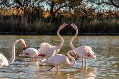 fenicotteri (::fede::) Tags: france bird nature colors beautiful beaut