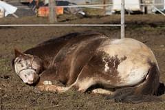 Mittagspause ;-) (HendrikSchulz) Tags: sleeping horses horse stall pferde pferd schlaf mittagsschlaf biesendorf