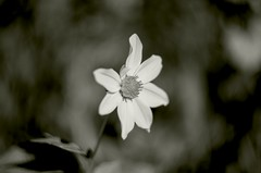 IMGP9975 (wansa1983) Tags: old bw en flower art mamiya film blanco dan fleur colors beautiful out ir noir y pentax f14 negro flor ve og e bunga ja fiore et blomst zwart bianco blanc beyaz nero leans putih 1000views witte bloem efects czarny hitam svart blm iek kwiat  balta hvit  kukka  musta  siyah sekor biay albnegru gl valkoinen floare hvtt   juoda     100fave   k5oo gergeus schwarzweissblume
