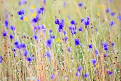 flower_field_01r