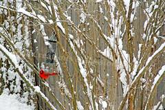 Welcome To The New Year (Elise Creations & Passions) Tags: snow fauna canon fence flora birdfeeder bid malecardinal redcardinal burlingtonvermont lilacbushes winterbird snowybranches wintercardinal winter2014 redblackbird vermontnaturephotography elisecreationspassionsphotography elisemarksphotography vermontwildlifephotography brightredcardinalagainstbrightwhitesnow cardinalonlilacbranchinwinter