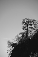 Baobab Over Moramba Bay