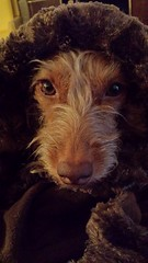 long nose is cold (tiffanycsteinke) Tags: dog mix dachshund doodle honey poodle dachsund wirehair dachshundpoodle doxipoo