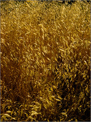 GoldenGrass (artajanovic) Tags: texture golden tone rhythm goldengrass studyoflight exploringlight mirzaajanovicfineartphotography