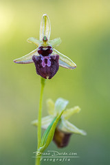 Ophrys incubacea (Bruno Durn) Tags: wild orchid flower flora sphegodes