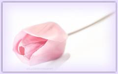 (Fay2603) Tags: white flower leaves background hell rosa indoor frame tulip blte tender bltenbltter tulpe pastell hintergrund weiser flieder zart rose zartrosa heiter fotorahmen weisrosa