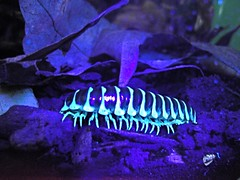 Glowing Apheloria Millipede (MillikenBee) Tags: nature bug insect glow wildlife uv blacklight glowing millipede