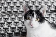324 (Rafi Moreno) Tags: pet blancoynegro ikea cat canon vintage hipster retro gato animales oreo gatitos mascotas rafi whiteandblack 365proyect proyecto365fotos