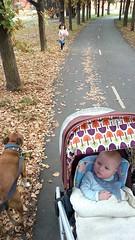 Autumn (kayatkinson-simson) Tags: maya bean kane staffordshirebullterrier dogwalk staffy 18weeksold dicksonbikepath