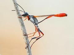 Ammophila heydeni?? (Sebastin J.L) Tags: macro canon insect wasp tamron tamron90mm insecto avispa hymenoptera macrofotografia focusstack ammophila sandwasp sphecidae 1000d fieldstack