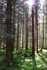 Spring forest (westis) Tags: sunlight forest halo spruce