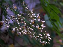 Nandina Flowers (bamboosage) Tags: 45 schneiderkreuznach enlargerlens componar