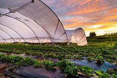 Frutillas (vichofr) Tags: chile camp fruit canon plantas camino fruta campo cl vfr frutilla frutillar plantaciones