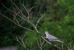 Tourterelle turque (Francis Fantoni) Tags: nature nikon extrieur oiseau tourterelle gers d7100