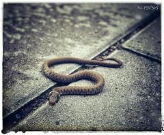 Ringelnatter | grass snake