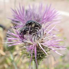 Galactites tomentosa, Mnch 1794 (Asterales: Asterace: Carduoide: Cardue); Oxythyrea funesta (Poda 1761)  +  (Coleoptera: Scarabid: Cetoniin: Cetoniini: Leucocelina) (ciaociaoxxx) Tags: mating asteraceae coleoptera oxythyrea funesta scarabaeidae asterales cetoniinae cardueae galactitestomentosa carduoideae cetoniini leucocelina