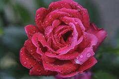 Wet Rose (Filsa Bint Ahmed) Tags: flower water floral rose garden virginia petals drops tripod richmond knockout bubblegum goldenhour rva d90 105mmf28g