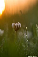 Du trfle golgen hour! (pascaleforest) Tags: macro nature spring nikon passion printemps goldenhour calme trfle rosedumatin heuredor
