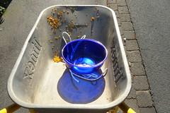 carrying colours (erix!) Tags: petals schssel wheelbarrow werkzeug schubkarre