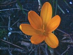Crocus spec 2 (heinvanwinkel) Tags: nederland tuin 2008 krokus februari iridaceae nieuwkoop magnoliidae spermatophyta tracheophyta ixieae iridoideae lilianae euphyllophyta crocusspec bloemvandedag iridales iridineae