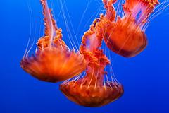 From the deep (Thelma Gatuzzo) Tags: california travel sea usa fish nature birds animals aquarium monterey jellyfish ngc eua animalia seacreatures thelmagatuzzophotography
