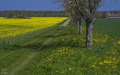 Rapeseed, dandelion, cherry trees (KF-Photo) Tags: raps weg rapeseed 1610 lwenzahn einsiedel kirschenallee hofguteinsiedel pentaxa1750